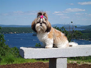 Shih Tzu Puppies For Sale In Massachusetts And New Hampshire