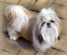 tzu for sale adult Shih